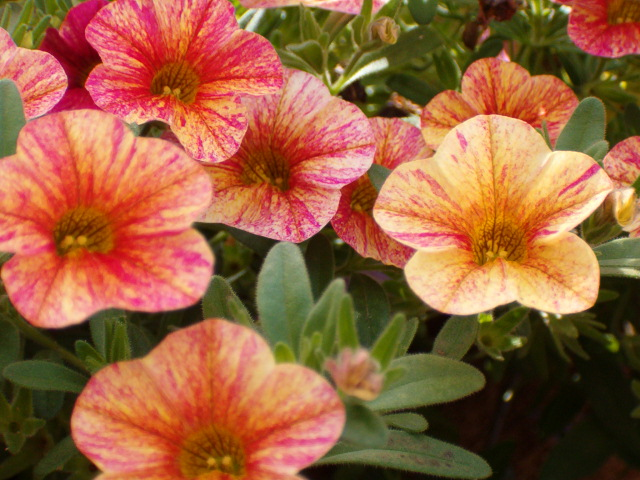 Calibrachoa superbells tequila sunrise wholesale bedding - Calibrachoa superbells ...