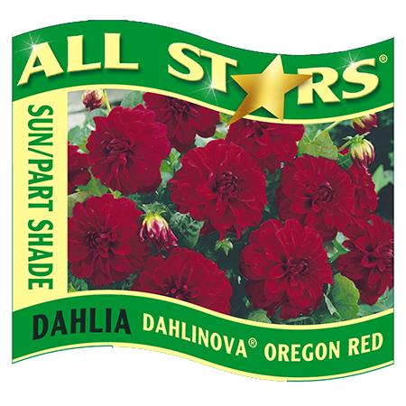 Dahlia Oregon Red | Wholesale Bedding Plants : Hybels, Inc.